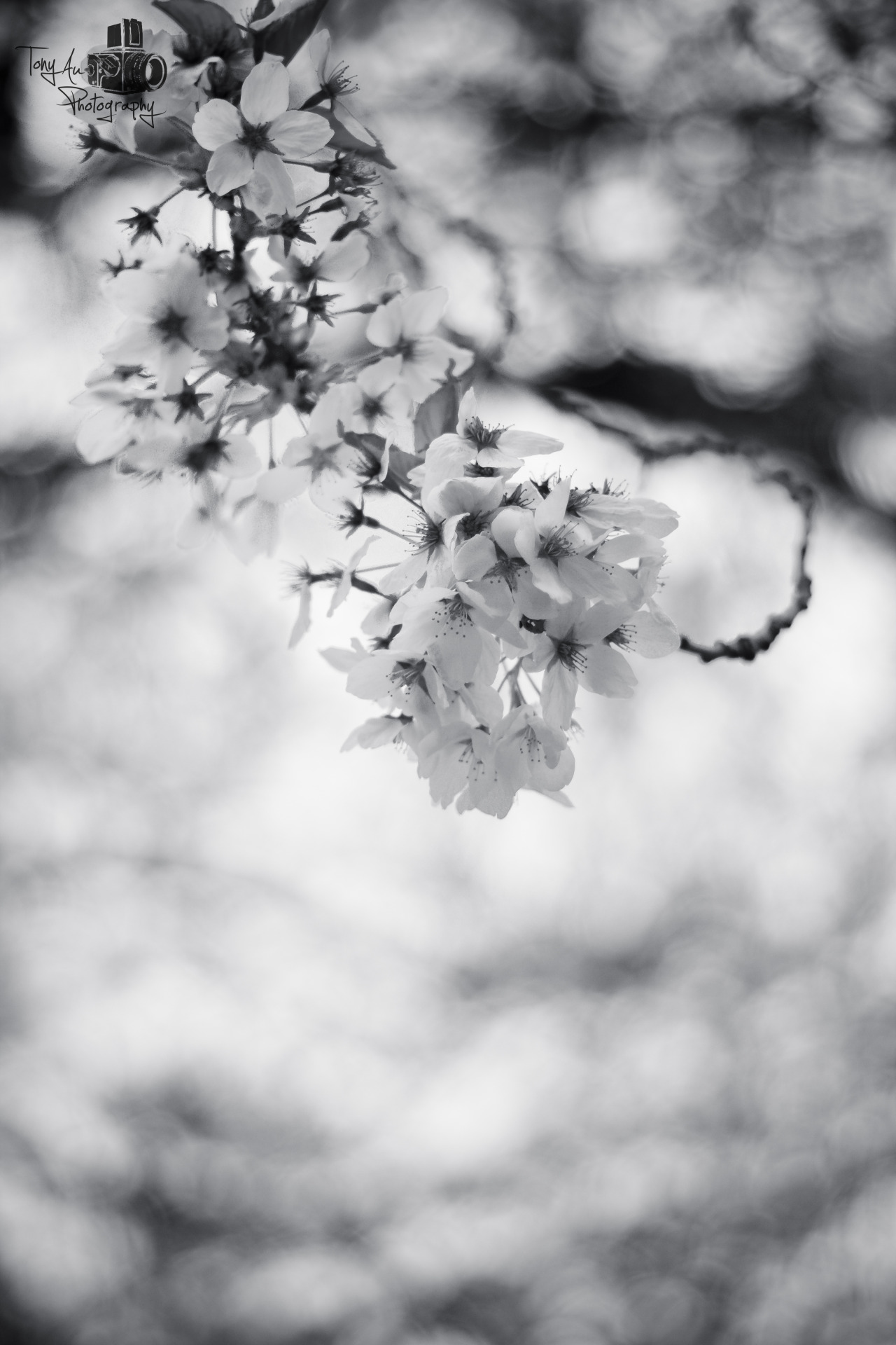 thatoneuneasyfeeling:  The Last of the Blossom. Without Color…