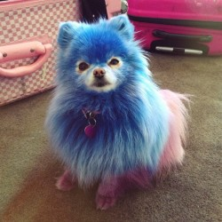 jeffreestar:  hi, my baby Dimaond is a bad bitch 💙 #twinz #pomeranian #jeffreestar #dogsofinstagram #creativegrooming