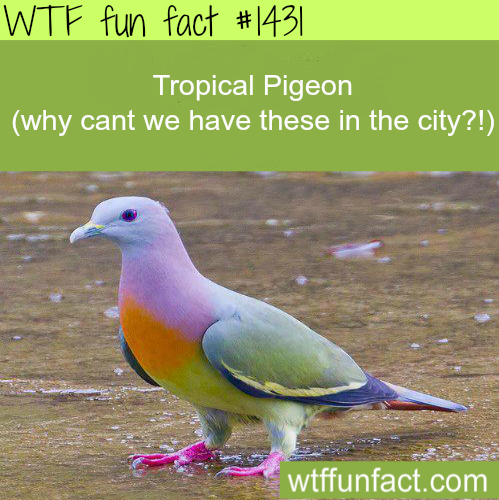 wtf-fun-factss:  Tropical Pigeon prettiest birds!  they poop skittles, and rainbows WTF FUN FACTS HOME / See MORE TAGGED/ animals FACTS (source)