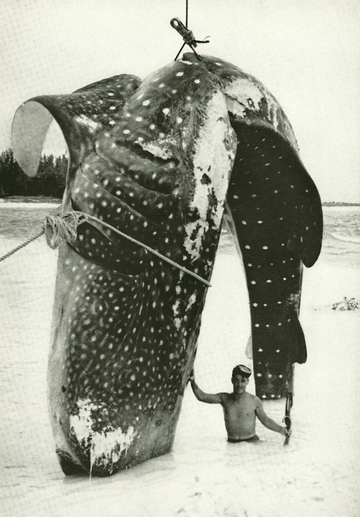 Whale shark in Bimini, Bahamas National Geographic | February 1958