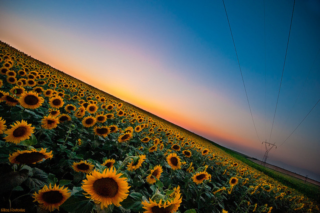 neptunesbounty:  Sunflowers by Nick-K (Nikos Koutoulas) on Flickr.