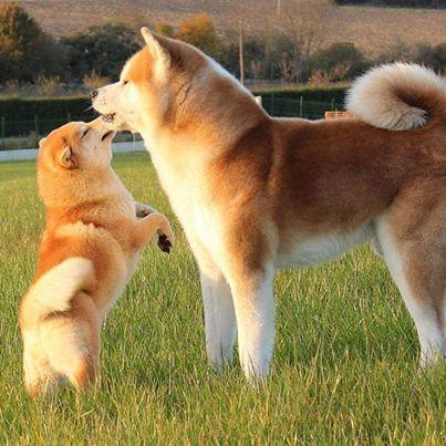Shiba Inu compared to an Akita Inu Do you like you doge in regular or mini?