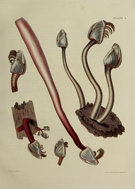 Illustrations of the conchology of Great Britain and Ireland by BioDivLibrary on Flickr. Edinburgh :S. Highley,1827..biodiversitylibrary.org/page/41107009