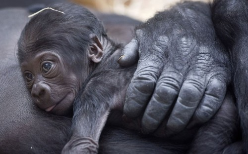 tumblr mg4jm8yubv1qzya49o1 500 A gorilla named Kijivu holds her nine day old baby at Prague...