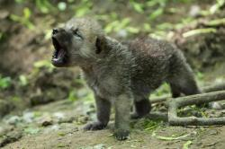 "zooborns:  Arctic Wolf Cubs Can Howl With The Best of Them  April 27th marked the arrival of baby Arctic Wolves At Zoo Vienna. The cubs are now ready to leave the den from time to time for short excursions into the outside world. ""Like in the wild, mother Inja raises her young in a burrow where they cannot be observed. Up to now, five young animals have been spotted outside the den. Only time will tell if they will all survive."" explains the zoo's director, Dagmar Schratter.  See more photos and a video of the pups on ZooBorns!"