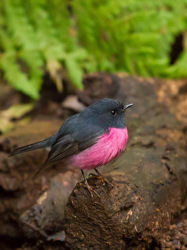 danforth:  fairy-wren:  Pink Robin. Photo by Quiroswald  The Julia Vickerman of birds.