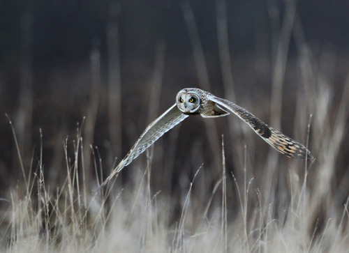 animalgazing:  Short-eared owl flight by AnayTarnekar on Flickr.