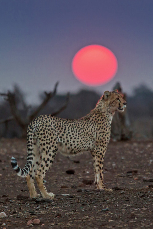 loveforearth:  Cheetah at Sunset (by bfryxell)