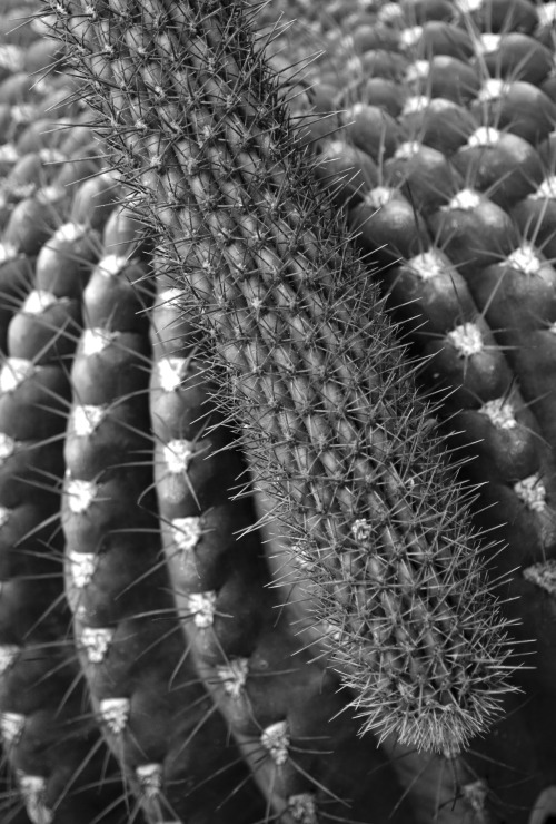 Cactus on cactus in B&W: Botanical Conservatory. UC Davis, 05-07-13.