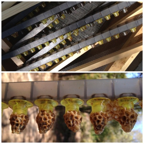 Queen Cups Before and After: Upper picture shows cups before grafting larvae and lower picture illustrates what the cups look like 10 days later with queen cells fully formed over queen pupae.