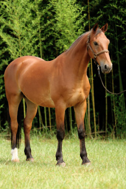 vickaf:  Indú Itapuã - Brazilian Warmblood.  oh.  my.  god.