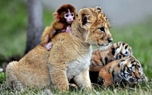 magicalnaturetour:  A baby monkey, a lion cub and tigers cubs play at the Guaipo Manchurian Tiger Park in Shenyang, ChinaPicture: REUTERS via Telegraph