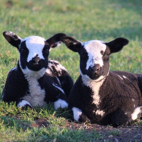 PHOTO OP: Twin Sheep Via hansio1234.