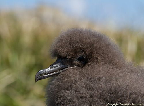 Short-tailed Shearwater Chick by ~SirTimid Also known as the Slender-billed Shearwater, Yolla, Moonbird or Muttonbird.  They are the most common seabird in Australia.  They breed on islands off of southeastern Australia and on Tasmania, where chicks are commercially harvested for food and oil.  Shearwater nests are built at the end of a burrow in the sand.  When not breeding the shearwaters spend most of their time on the open ocean, diving as deep as 60 feet for fish, crustaceans and squid and roosting on sea cliffs to rest.  They are sometimes found foraging alongside whales and dolphins.(x)(x)