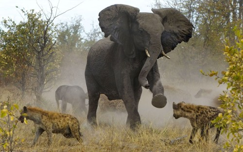 theanimalblog:  An elephant comes to the rescue of one of its babies who is being attacked by a pack of hyenas. The elephant is seen charging at the hyenas to ward them off its offspring. These amazing pictures were captured by American photographer Jayesh Mehta in the Savuti region of the Chobe National Park in Botswana.  Picture: JAYESH MEHTA / CATERS NEWS