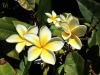 FRANGIPANI  A chance find while walking down the street, I could capture only the physical beauty of these frangipani and not the sweet perfume (when will we get an app for that?).  For photographers, colour and repeated pattern are the attractions with flowers.  Image: iPhone 5. Apple camera app on HDR.