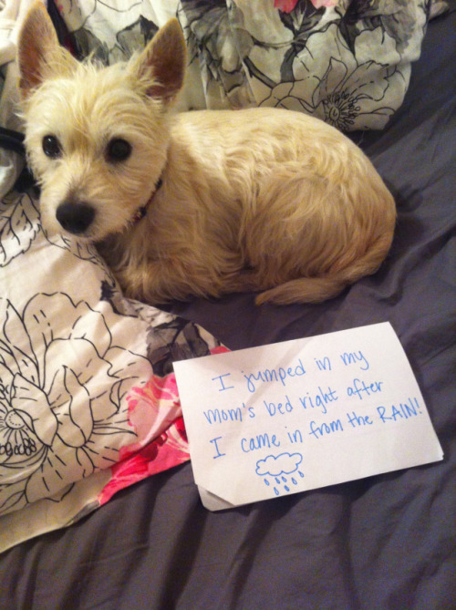 dogshaming:  Smells like wet dog  It has been raining for three days in Macon. Alfie decided to run and get in bed…MY BED…as soon as…  View Post  A cute wet dog.