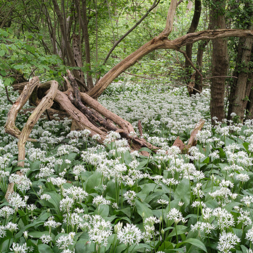 bahiabay:  Wild Garlic. (by robin jones1)