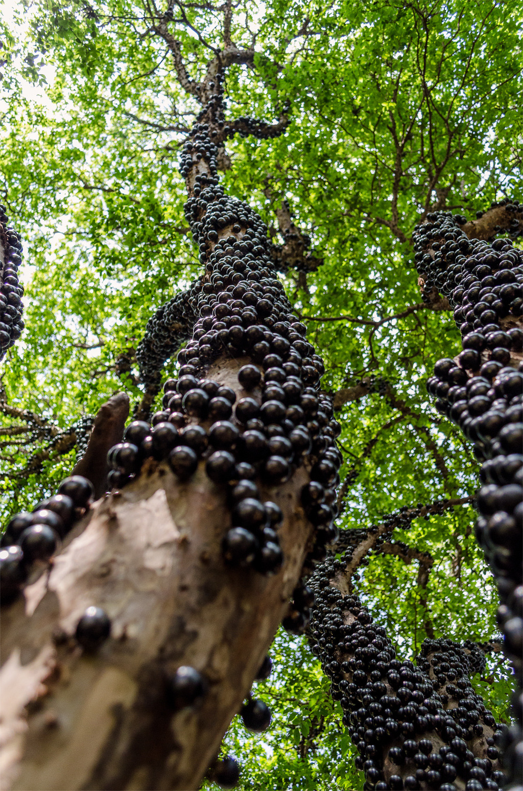 esmatto:  Jabuticaba (Plinia cauliflora, formerly Myrciara cauliflora) - a tree that grows its fruit on the trunk and branches.