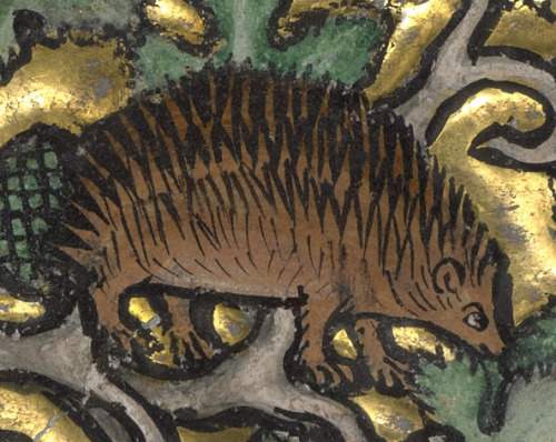 thegetty:  This is no ordinary hedgehog. The bestiary (book of beasts) this little guy inhabits describes the imaginative way this hedgehog gathers fruits. He spears grapes with his spikes and rolls through the vine, collecting more and more as he goes. Moral of the story? Care for your spiritual truths, or the devil may carry them off.  A Hedgehog (detail), Franco-Flemish, about 1270. Tempera colors and gold leaf on parchment. The J. Paul Getty Museum