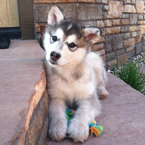 Are you taking my picture? #puppy #pup #dog #pet #malamute #cute #instapet #instagrampet #petoftheday #adorable #canine #doggie