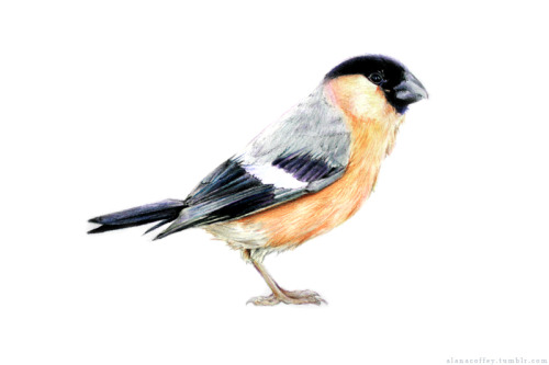 alanacoffey:  Eurasian Bullfinch commission! :)  I am a fan of shamelessly promoting my biffles