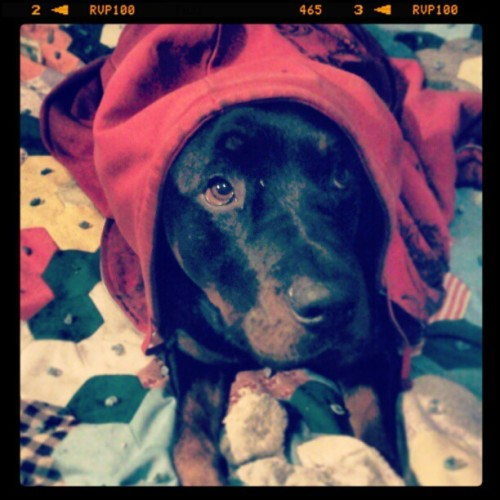 #rottweilers #hoodie #boy #mommasboy #baby #chillen #toy #Roco #beautiful #love #thoseeyes #gorgeous #rottie #gangster #adorable