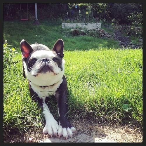 Biiiiiiig stretch! #bt #bostonterrier #bostonaddicted #bostonterriers #bostonterriers #bostonterriercult #bostonterrierlife #bostonterrierlove #bostonsofinstagram #bostonterriersofig #bostonterriersofinstagram #squishyfacecrew #dog #dogslife #dogstagram #dogoftheday #dogsofinstagram #barkbox #instagood #picoftheday #love #cute #awesome