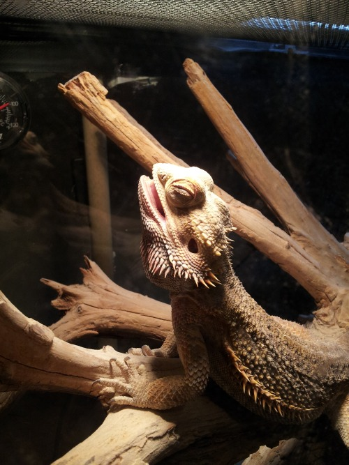 lapis-lupus:  Happy-ass lizard is happy.  (This is my boy Buddy. Yes I know he's actually gaping with his eyes shut, but don't ruin it.)  First time i.saw my dragon doing this I had a heart attack