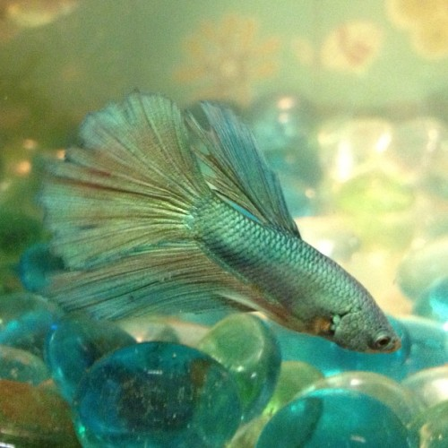 My beautiful #beta ! Gorgeous color! Blue-green metallic shine #pets #fish #lonernomore #likeaboss
