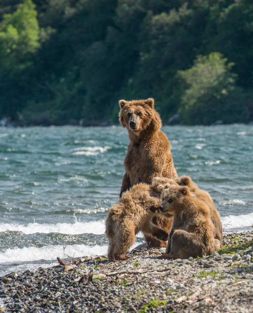 funnywildlife:  Grizzly Family!