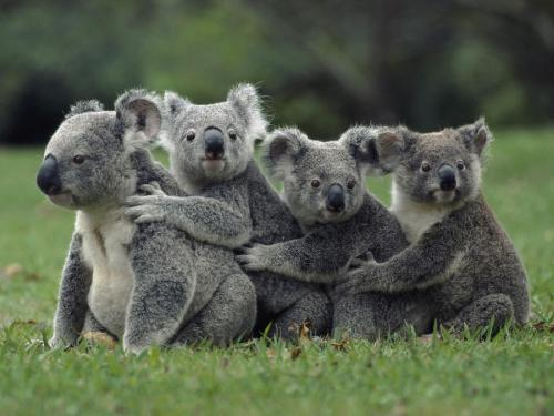 llbwwb:  Koala (Phascolarctos cinereus) group in a line, Australia by bm.iphone.