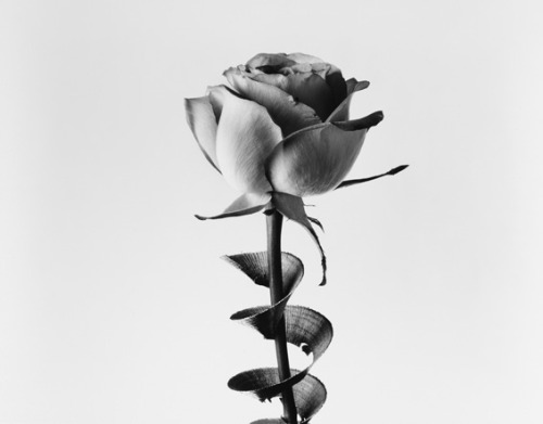 Frank White, Rose, 2002 from the series Cuttings