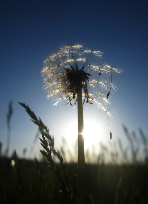 a dandelion in the sun