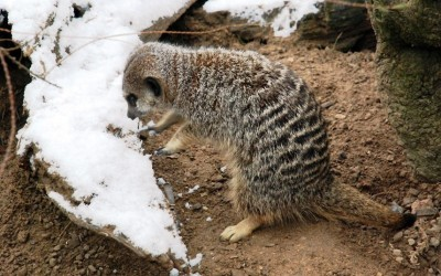 A meerkat examines the snow at ZSL London Zoo. Picture: Lauren Baily