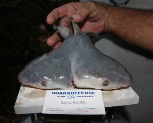 "earth-song:  Two-Headed Shark Found by Fisherman Posted by Brian Clark Howard of National Geographic News in Ocean Views on March 26, 2013  We've written about a cyclops shark, freshwater sharks, and whorl-toothed sharks, but we have to add a new curiosity to the digital curio: a two-headed shark. A fisherman working off the Florida Keys recently caught a bull shark, then opened it up to find that it contained two live fetuses, including one highly unusual one with two heads. The fishermen gave it to scientists, who wrote about it in an article published in the Journal of Fish Biology this week. The scientists, led by C. Michael Wagner of Michigan State University, said it was the first known case of the phenomenon in bull sharks, and one of only about a half dozen recorded cases of a two-headed shark anywhere. ""In and of itself, this single natural history observation does not tells us anything Earth-shattering about the health of the world's oceans or populations of bull sharks,"" Wagner told Ocean Views via e-mail today. ""It's simply a rarely observed phenomena that we recorded. Yet, it does capture public attention, and what a great opportunity for journalists like yourself to shine the light on some interesting information that does bear on that very important question."" [Does the two-headed shark teach us anything about the health of the ocean?] As further reading, Wagner pointed to the recent Ocean Health Index published in the journalNature by Benjamin Halpern and colleagues (which we covered here). Why Two Heads? The two-headed bull shark displays a process technically called ""axial bifurcation,"" in which the embryo doesn't finish splitting into two separate individuals (twins). This mutation has been seen in other animals, including humans. According to Wagner's team, such individuals rarely survive in the wild, since they are at a big disadvantage when it comes to finding food and avoiding predators. In this case, the two-headed bull shark also ended up with a very small body, since so much energy went into growing two heads. Wagner said the fishermen who found the animal told him it died shortly after being removed from its mother. ""It likely would not have survived very long had it been born naturally,"" said Wagner. Studying such rare organisms may help us better understand developmental processes, Wagner added. Update: Wagner pointed out, in response to a reader question below about sharks not having bones: ""It is true that shark skeletons are formed of cartilage, not bone. Shark cartilage is sufficiently dense to be imaged by x-ray. It is a commonly used technique for examining museum collection specimens that are rare, and when there is a desire to keep the specimen undamaged (e.g., see the Smithsonian Institution exhibit on fish diversity)."""