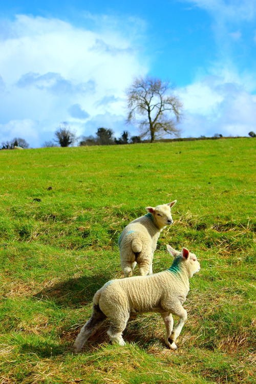 photosbyaudrey:  Lambs April 2013