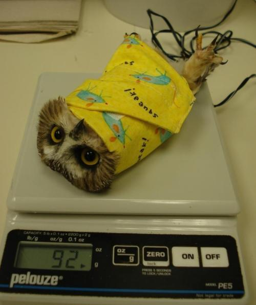 allisonelisabeta:  proper way to weigh an owl. my heartttt