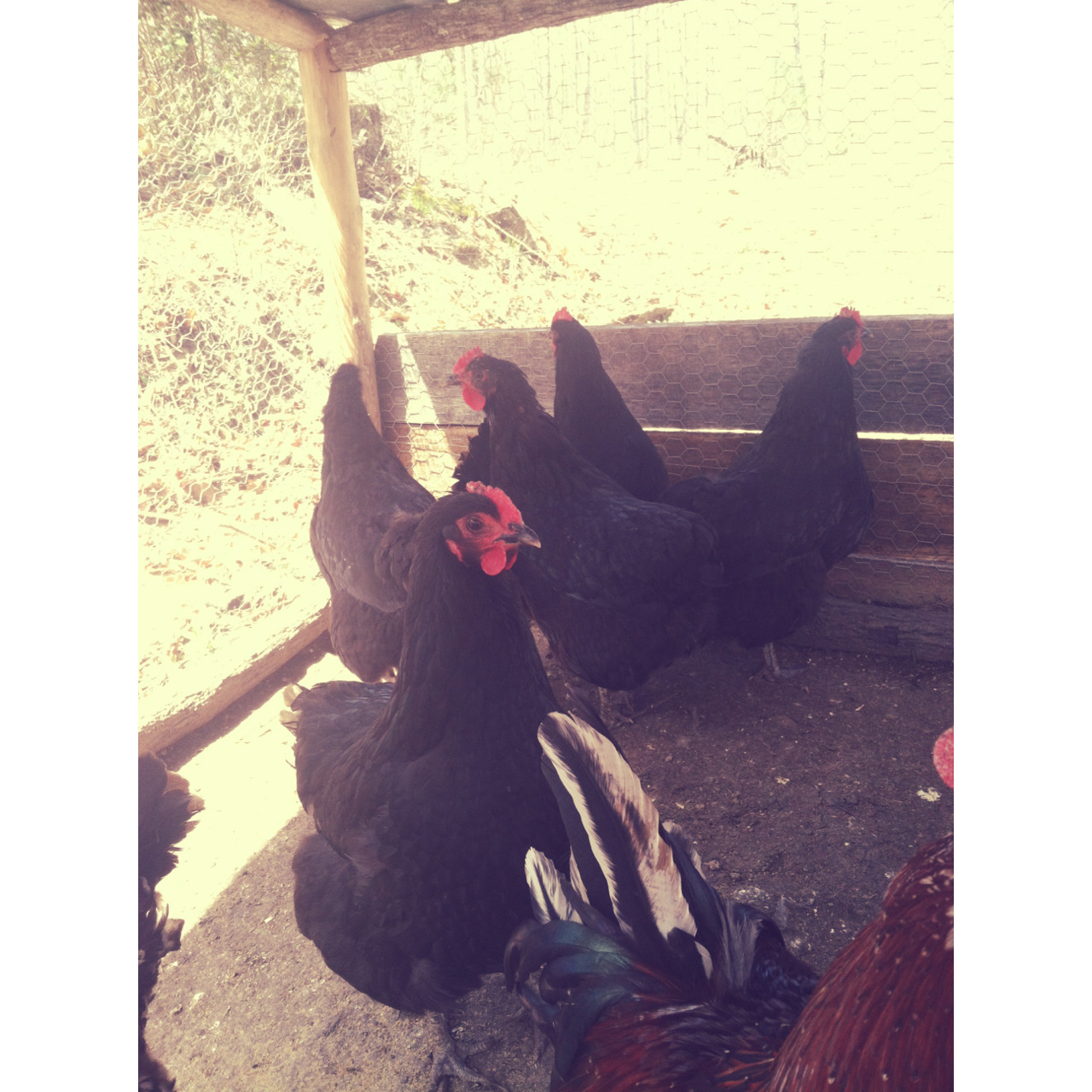 New addition to our flock, 5 black Australorp hens. We already got an egg from them today! They are very sweet and gentle.