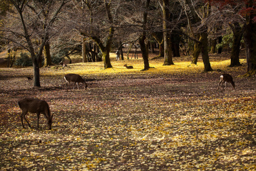 Nara Park (奈良公園) by MingYeung on Flickr.