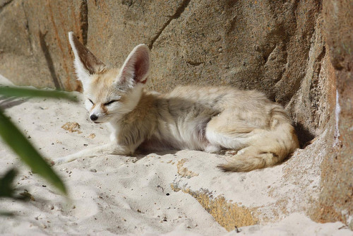 Fennec Fox by Bryn Davies on Flickr.
