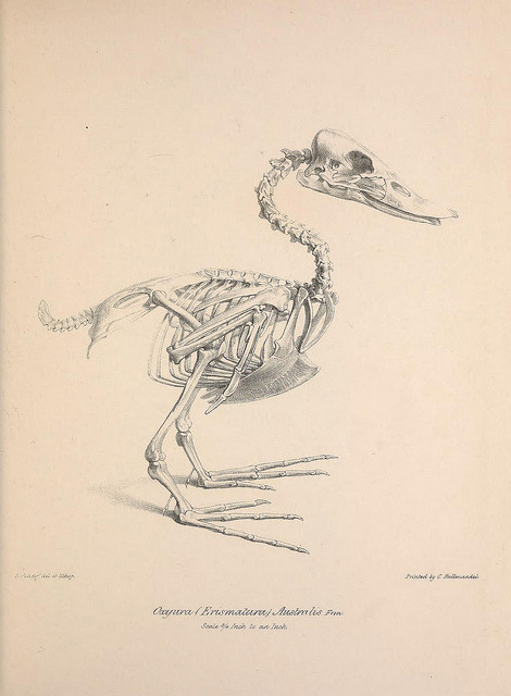 Skeleton of the Blue-billed Duck (Oxyura australis) by BioDivLibrary on Flickr. Osteologia avium, or, A sketch of the osteology of birds /.[Wellington] :Published by R. Hobson, Wellington, Salop,1858-1875..biodiversitylibrary.org/page/41399181