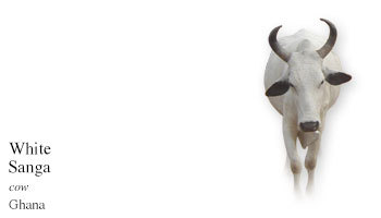 The White Sanga is a cross between a Ghana Shorthorn and a White Fulani and is considered a variety of the Ghana Sanga. You can also go to: The Cow Wall®Alphabetical Cow/Cattle Breed Picture Reference to see other breeds of cattle in the world. My Daily Cow®Alphabetical Cow/Cattle Breed Reference Page  and read about other cattle breeds.