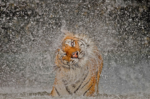 atlanticinfocus:  From Winners of the National Geographic Photo Contest 2012, one of 14 photos.  Grand-Prize Winner: The Explosion! The subject's name is Busaba, a well cared for Indochinese Tigress whose home is at Khao Kheow Open Zoo, Thailand. I had taken many portraits of Busaba previously and it was becoming more and more difficult to come up with an image that appeared any different to the others. Which is why I took to observing her more carefully during my visits in the hope of capturing something of a behavioral shot. The opportunity finally presented itself while watching Busaba enjoying her private pool then shaking herself dry. In all humility I have to say that Mother Nature smiled favorably on me that day! (© Ashley Vincent/National Geographic Photo Contest)