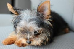 My teacup Yorkie just chillin lol :p