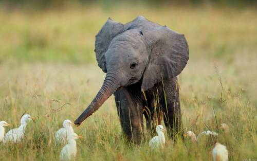 awesomephilia:  Little elephant making friends (via)