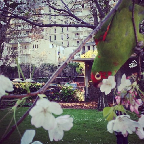 snack time in parrot land (at Sue Bierman Park)