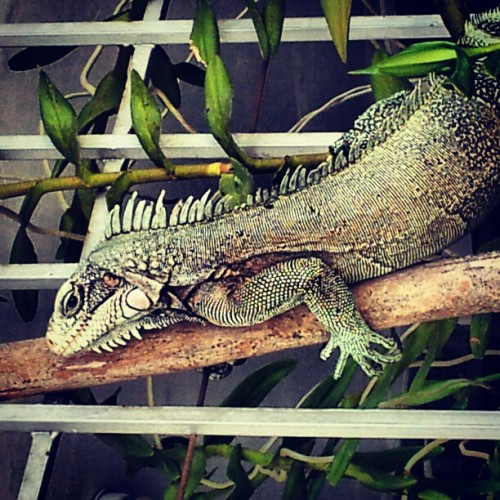 Iguanasaurio #cute #petstagram #animal #nature #petsagram #eyes #animals #pet #love