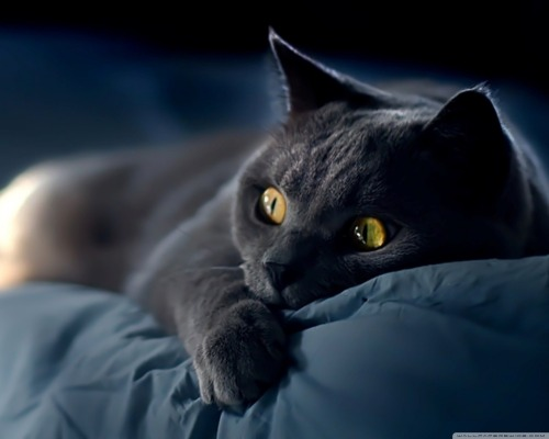 red-lipstick:  Unknown Photographer                   Blue British Shorthair Cat  I need some popcorn
