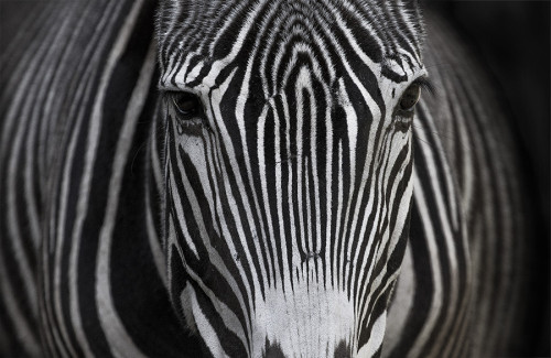 journeyearth:  Zebra by Pedro Jarque Krebs